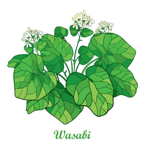 概要わさびやわさびの花と白い背景に分離されたグリーンのリーフのブッシュをベクトルします。 - わさび点のイラスト素材/クリップアート素材/マンガ素材/アイコン素材