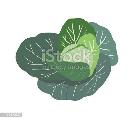 istock Vector cabbage 1254420370