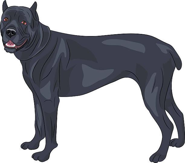 Vector. Cane Corso. Vector. Cane Corso dog breed isolated on white background. cane corso stock illustrations