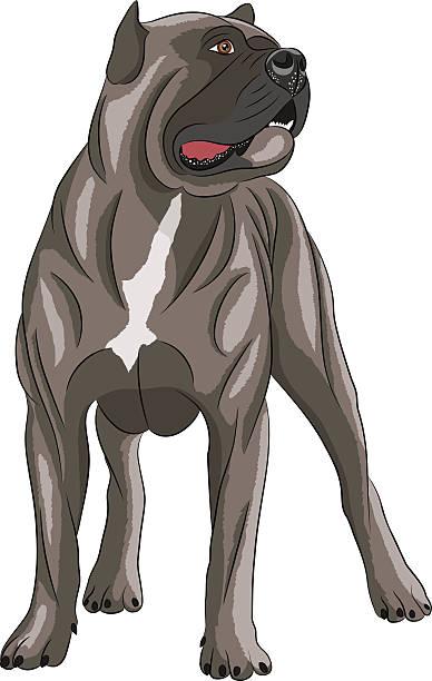 Vector. Cane Corso. Dog Cane Corso brown isolated on white background. cane corso stock illustrations