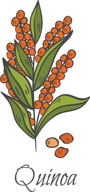 ilustrações de stock, clip art, desenhos animados e ícones de vector cartoon hand drawn quinoa icon - quinoa