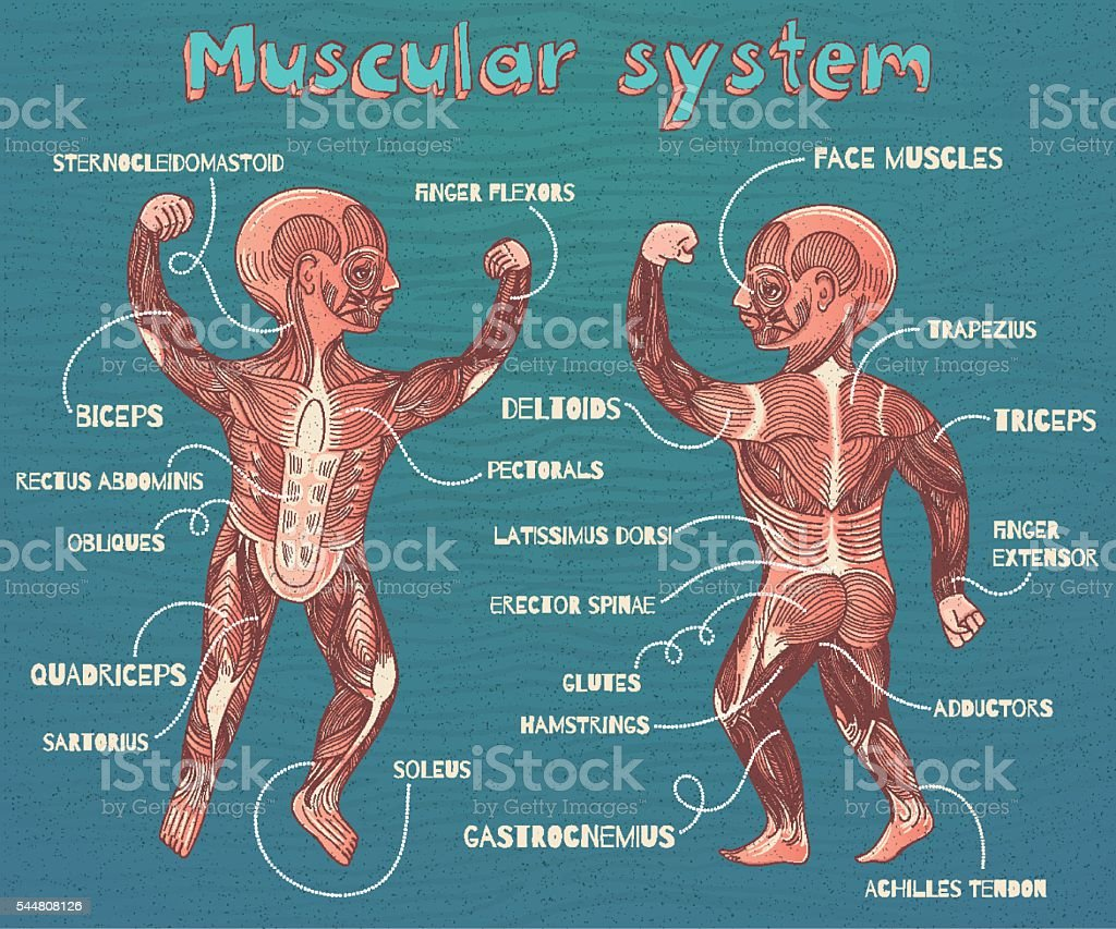 vector cartoon illustration of human muscular system for kids vector art illustration