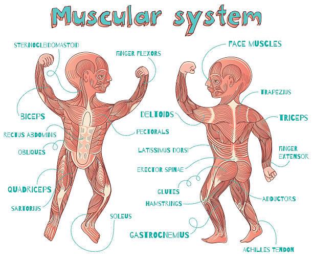 Vectores de Músculo Esternocleidomastoideo y Illustraciones Libre de ...