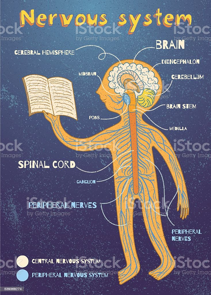 Vector Cartoon Illustration Of Human Nervous System For Kids Stock
