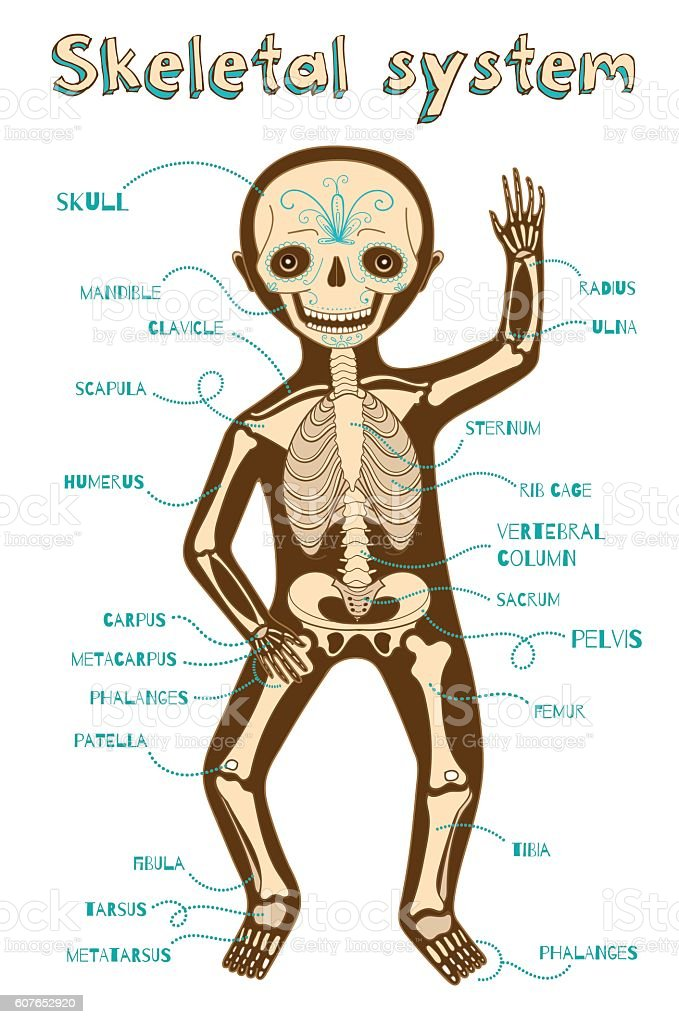 Vector Cartoon Illustration Of Human Skeletal System For Kids Stock