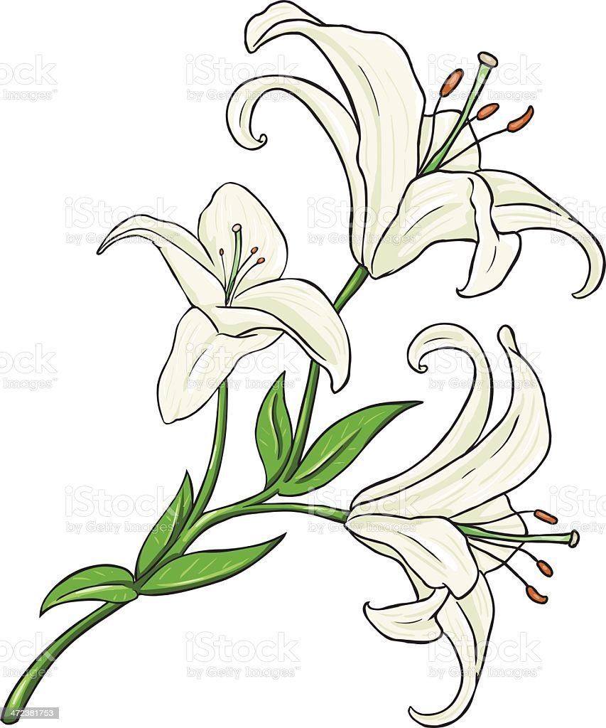 Vector cartoon isolated illustration white lily stock vector art vector cartoon isolated illustration white lily royalty free vector cartoon isolated illustration white lily izmirmasajfo