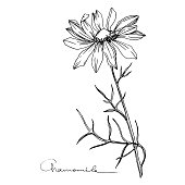 Vector Chamomile floral botanical flower. Wild spring leaf wildflower isolated. Black and white engraved ink art. Isolated flowers illustration element.