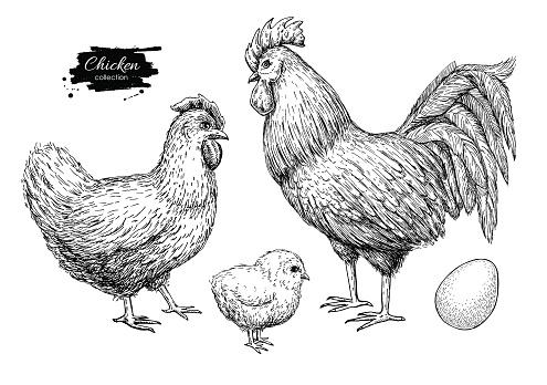 Vector chicken breeding hand drawn set. Engraved Chicken, Roster