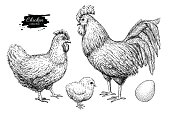 Vector chicken breeding hand drawn set. Engraved Chicken, Roster