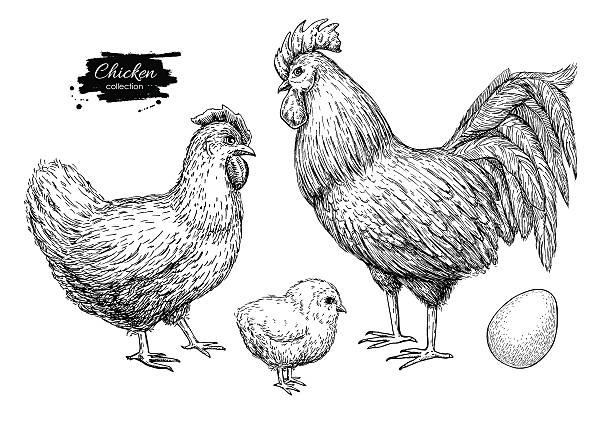 bildbanksillustrationer, clip art samt tecknat material och ikoner med vector chicken breeding hand drawn set. engraved chicken, roster - chicken