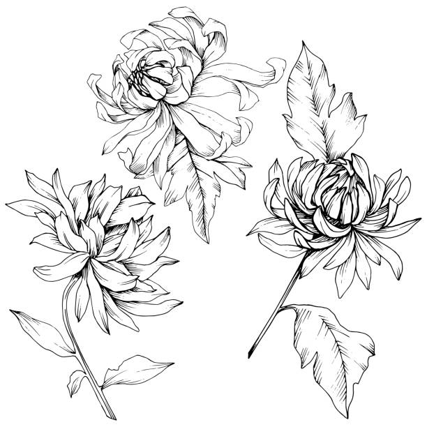 Vector Chrysanthemum floral botanical flowers. Black and white engraved ink art. Isolated flower illustration element. Vector Chrysanthemum floral botanical flowers. Wild spring leaf wildflower isolated. Black and white engraved ink art. Isolated flower illustration element. autumn silhouettes stock illustrations