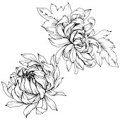 Vector Chrysanthemum floral botanical flowers. Wild spring leaf wildflower isolated. Black and white engraved ink art. Isolated flower illustration element.