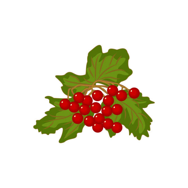 Vector clipart of ripe red Viburnum opulus fruit with green leaves vector art illustration
