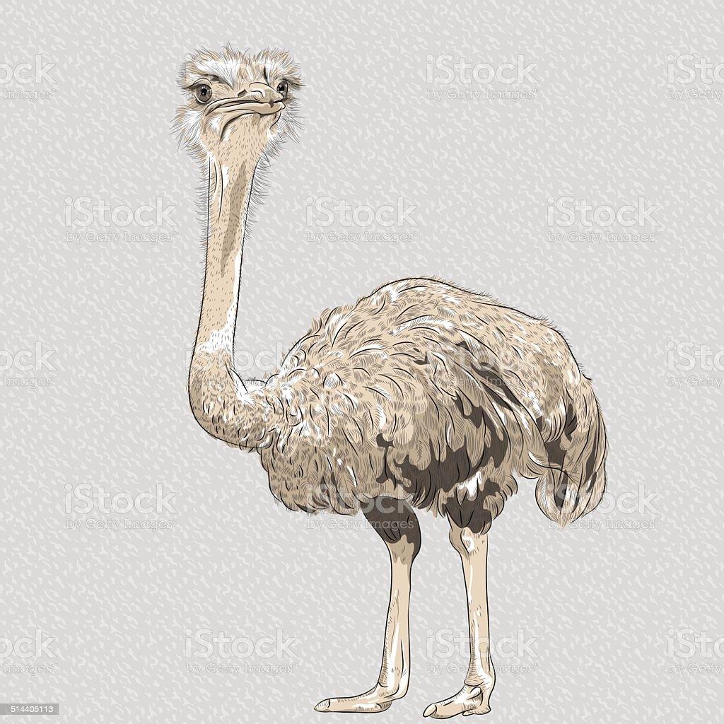 Vetor em closeup Retrato de pássaro engraçado avestruz - ilustração de arte em vetor