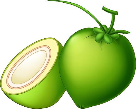 Vector Coconut Cartoon Illustration Isolated
