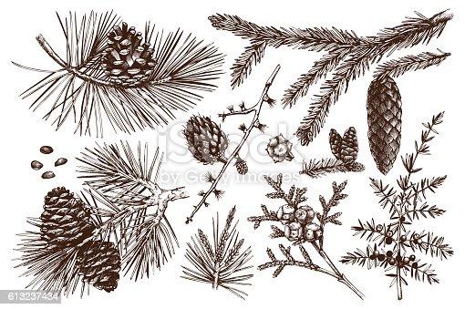 Vintage evergreen plants sketch set - fir, pine, spruce, larch, juniper, cedar, cypress. Christmas decoration elements.