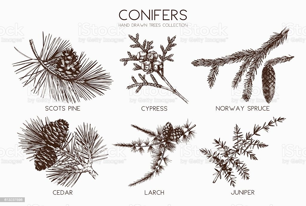 Vector collection of conifers illustration. vector art illustration