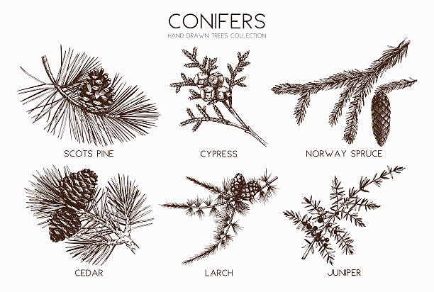 stockillustraties, clipart, cartoons en iconen met vector collection of conifers illustration. - cipres