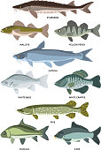 Vector collection of different kinds of freshwater fish. Fresh aquatic fish, sturgeon and walleye, perch and crappie illustration