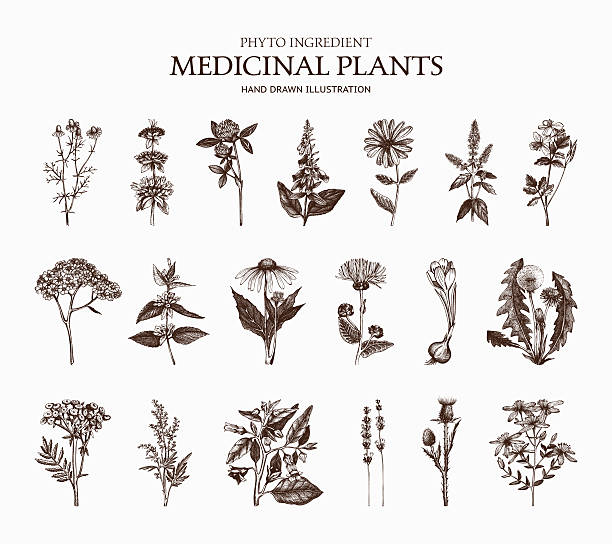 Vector Collection of hand drawn Spices and Herbs Big Vector Collection of hand drawn Spices and Herbs. Botanical plant illustration. Vintage Medicinal Herbs and Poisonous Plants sketch set isolated on white lavender plant stock illustrations