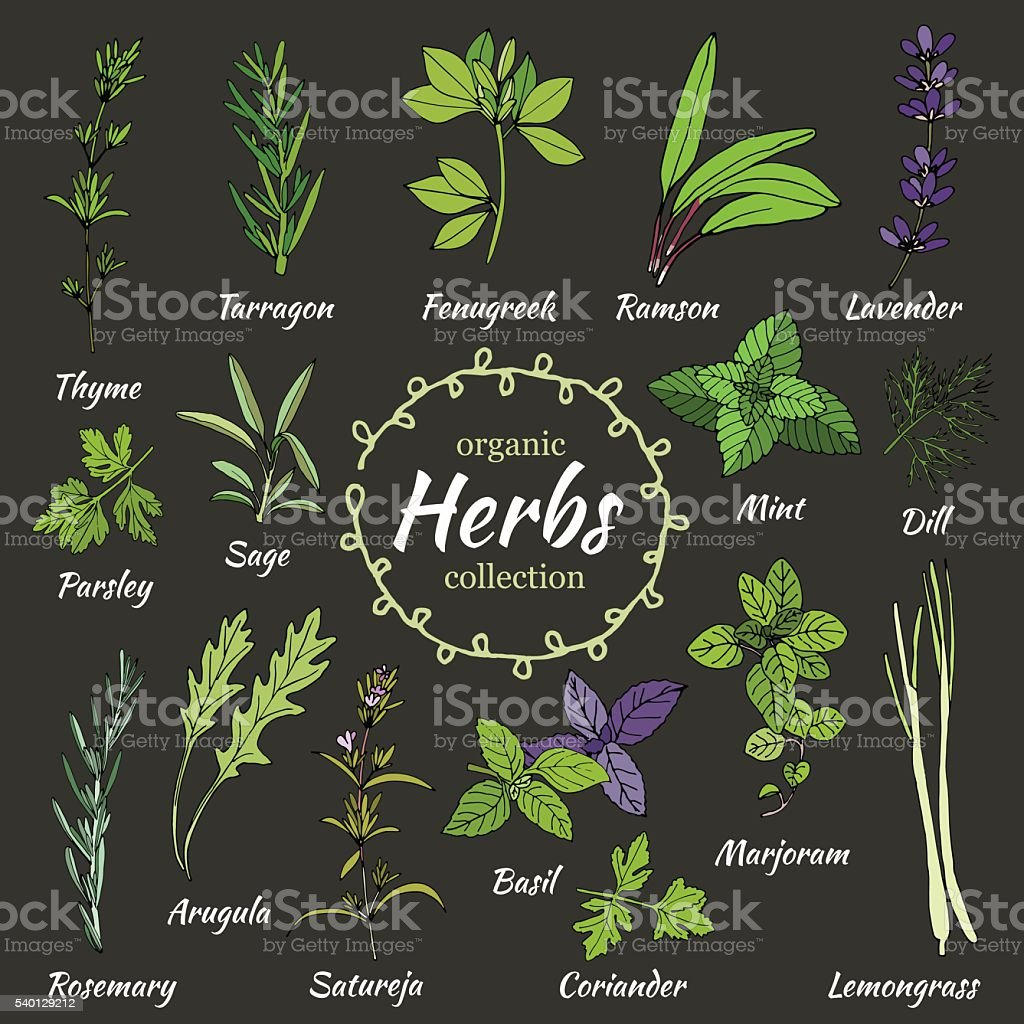 Vector collection of herbs. vector art illustration