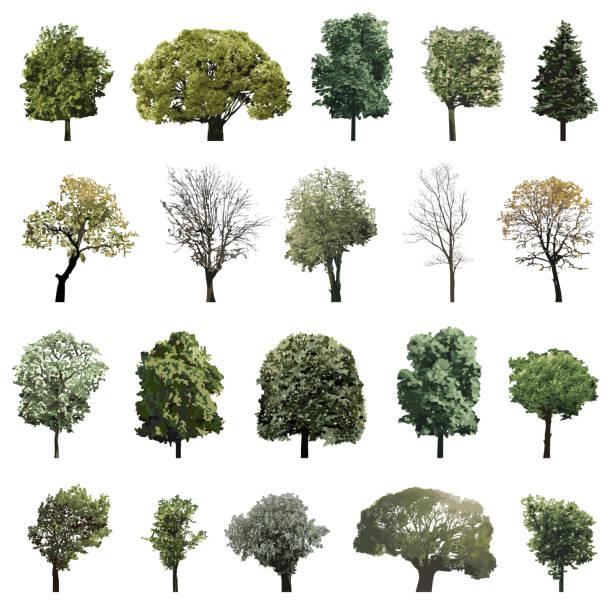 vektor-sammlung von hoch detaillierte isolierten bäume - buchenholz stock-grafiken, -clipart, -cartoons und -symbole
