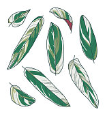 Vector collection set of exotic Calathea Triostar Maranta Prayer Plant leaf drawings