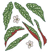 Vector collection set of exotic Polka Dot Begonia Maculata Plant leaf drawings