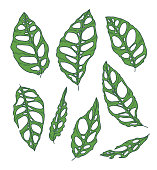 Vector collection set of rare and exotic Monstera Obliqua Plant leaf drawings