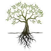 Vector Color Olive Tree with green Leafs and Roots.