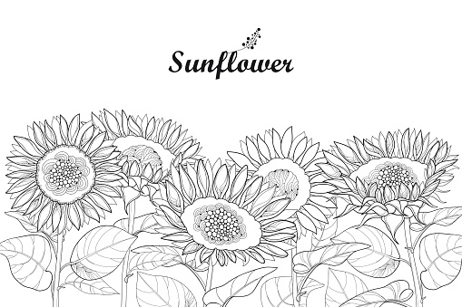 Vector composition with outline Sunflower or Helianthus flower and leaves isolated on white background.