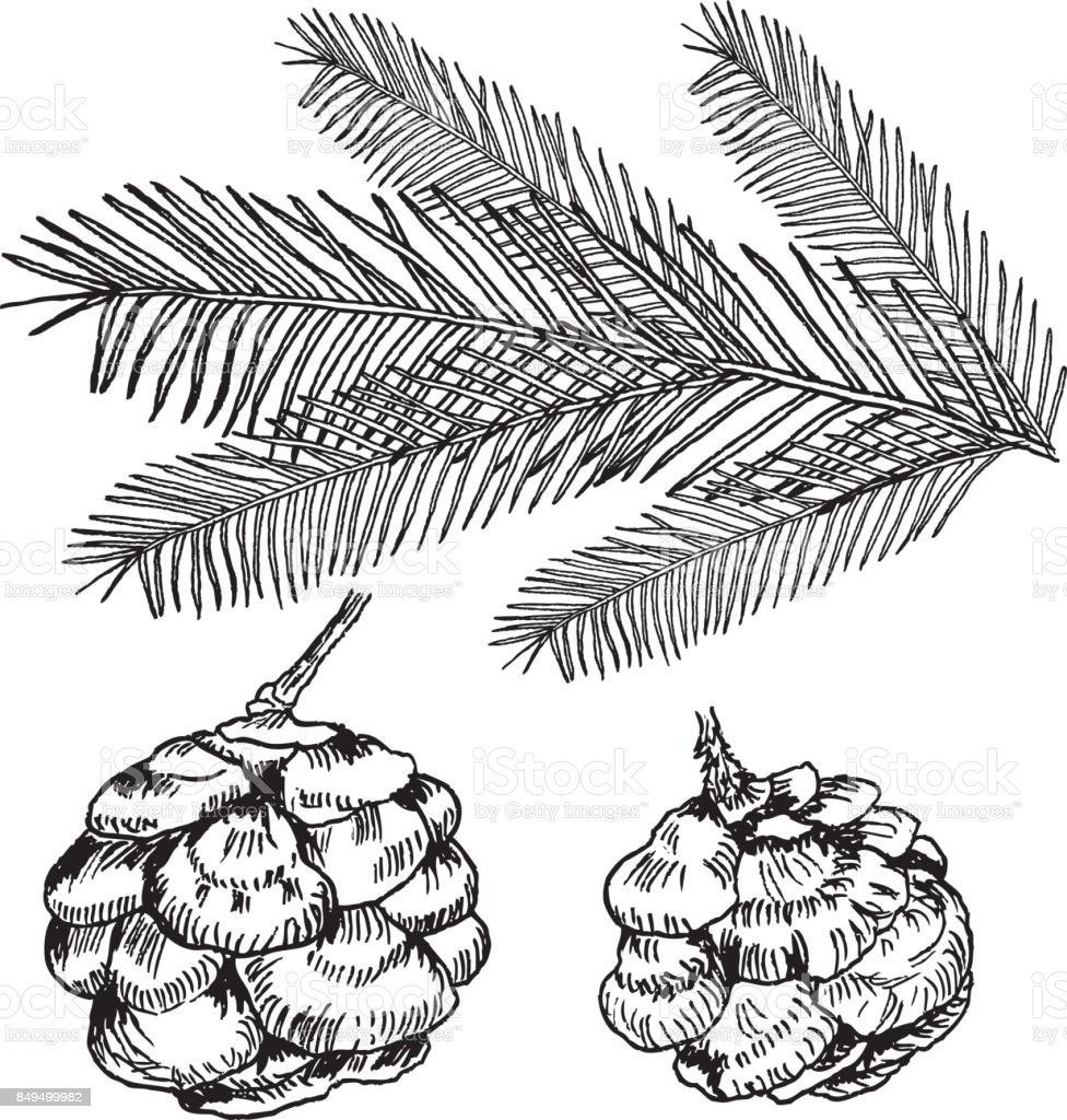 vector conifers illustration on white evergreen plant sketch set fir  vector conifers illustration on white evergreen plant sketch set fir pine cypress