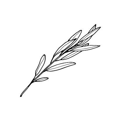 Vector contour willow branch