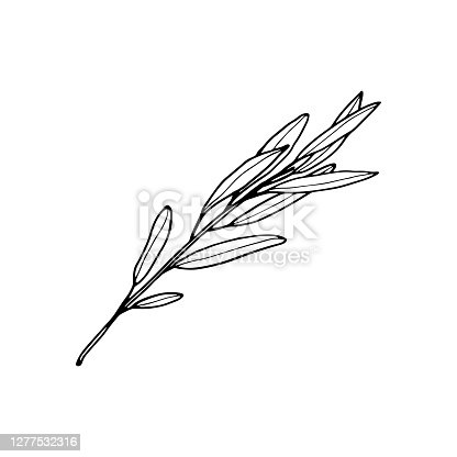 Vector contour willow branch. Hand-drawn outline sketch illustration on white background isolated. Ornamental leaves. Vintage decorative elements for floral botanical design. Line plant silhouette