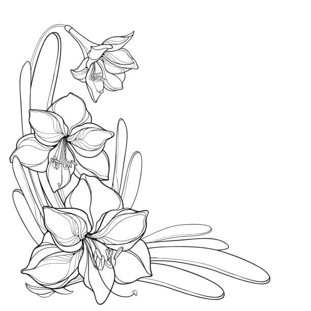 bildbanksillustrationer, clip art samt tecknat material och ikoner med vektor hörn bukett av kontur uppsvällda amaryllis eller belladonna lilja blomma gäng och blad i svart isolerade på vit bakgrund. - amaryllis