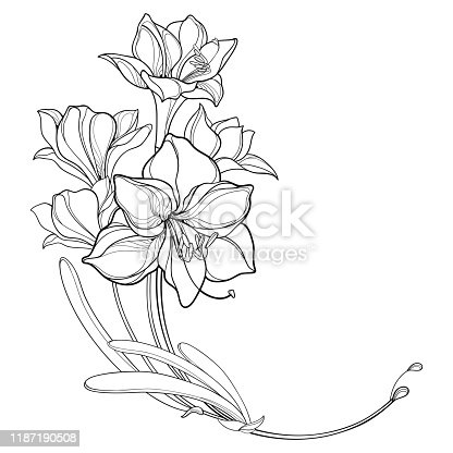Vector corner bouquet of outline bulbous Amaryllis or belladonna Lily flower bunch and leaf in black isolated on white background. Ornate contour Amaryllis for tropical design and coloring book.