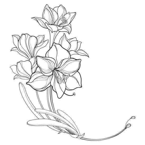 illustrations, cliparts, dessins animés et icônes de bouquet d'angle de vecteur de contour bulbeux amaryllis ou bouquet de fleur de cygne lily et feuille dans le noir d'isolement sur le fond blanc. - amaryllis