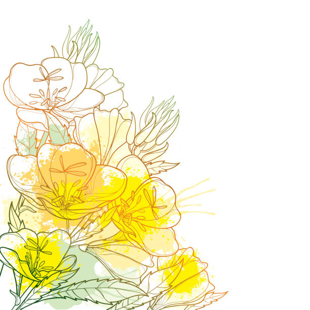 Vector corner bouquet of outline Oenothera or evening primrose flower bunch with bud in pastel yellow isolated on white background. Vector corner bouquet of outline Oenothera or evening primrose flower bunch with bud in pastel yellow isolated on white background. Contour ornamental garden plant Oenothera for summer decor. primula stock illustrations