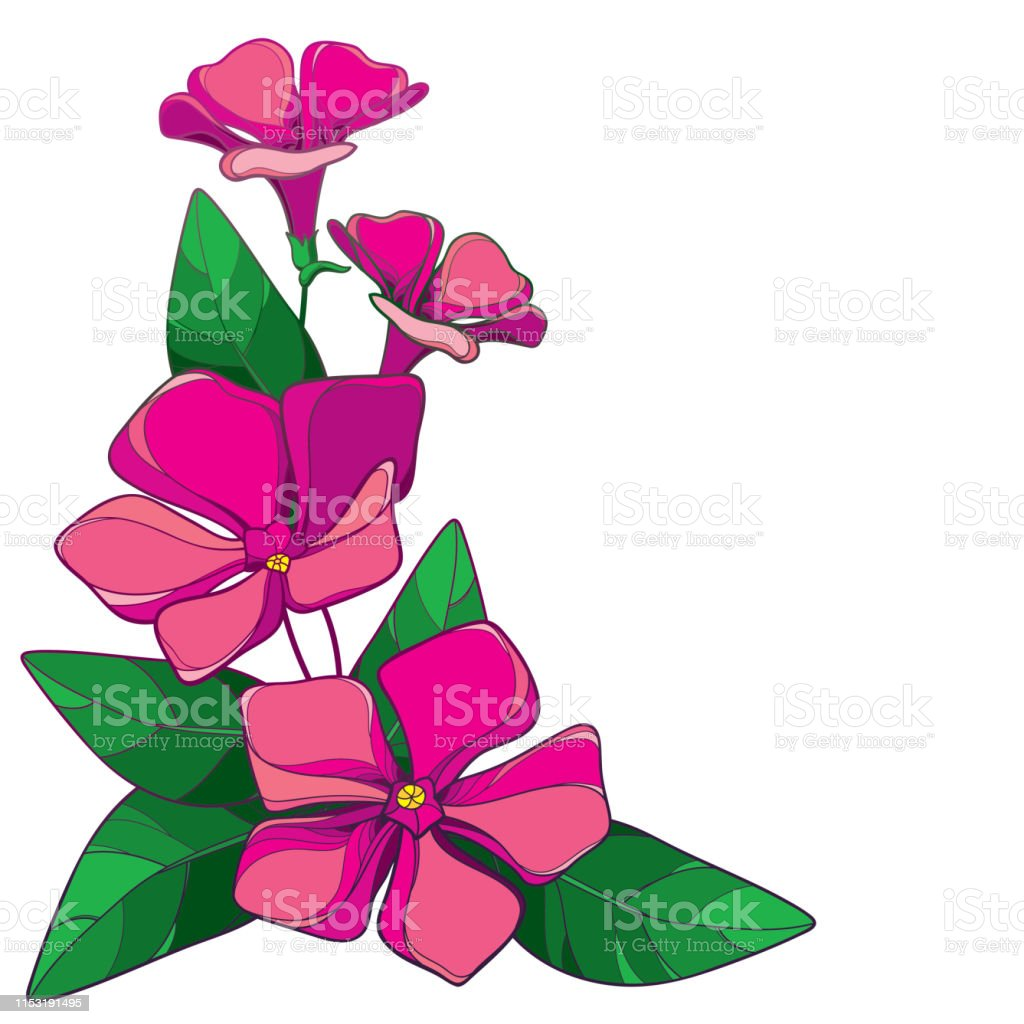 Vector Corner Bouquet Of Outline Pink Catharanthus Or ...