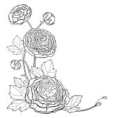 Vector corner bouquet of outline Ranunculus or Buttercup flowers, bud and leaves in black isolated on white background. Contour bunch of garden plant Ranunculus for summer design or coloring book.