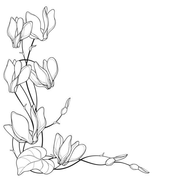 vektor-ecke bouquet mit outline alpenveilchen oder alpine violett haufen, knospe und blatt in schwarz auf weißem hintergrund isoliert. - alpenveilchen stock-grafiken, -clipart, -cartoons und -symbole