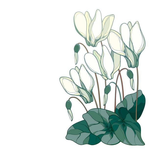 vektor-ecke bouquet mit umriss pastell weiß alpenveilchen oder alpine violett haufen, knospe und blatt auf weißem hintergrund isoliert. - alpenveilchen stock-grafiken, -clipart, -cartoons und -symbole