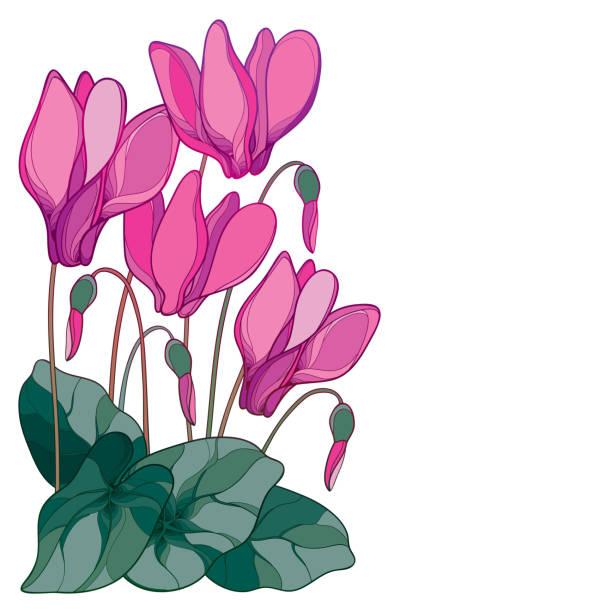 vektor-ecke-bouquet mit umriss rosa alpenveilchen oder alpine violett haufen, knospe und blatt isoliert auf weißem hintergrund. - alpenveilchen stock-grafiken, -clipart, -cartoons und -symbole