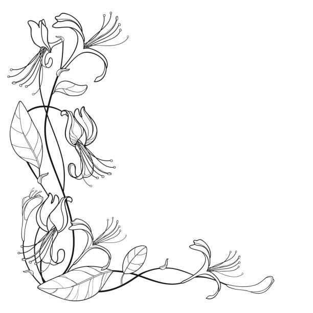 Vector corner bunch of outline Lonicera or Japanese Honeysuckle with flower, bud and leaf in black isolated on white background. Vector corner bunch of outline Lonicera or Japanese Honeysuckle with flower, bud and leaf in black isolated on white background. Branch of contour honeysuckle plant for summer coloring book. honeysuckle stock illustrations