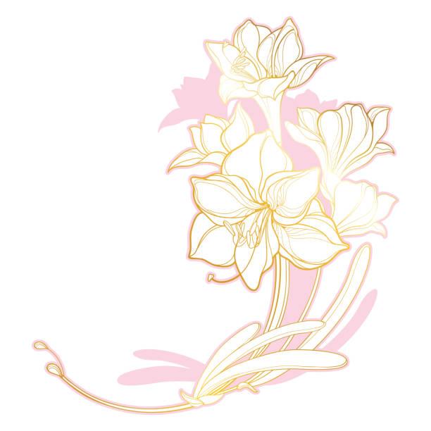 bildbanksillustrationer, clip art samt tecknat material och ikoner med vektor hörn gäng med kontur uppsvällda amaryllis eller belladonna lilja blomma bukett och blad i pastell rosa och gyllene isolerade på vit bakgrund. - amaryllis
