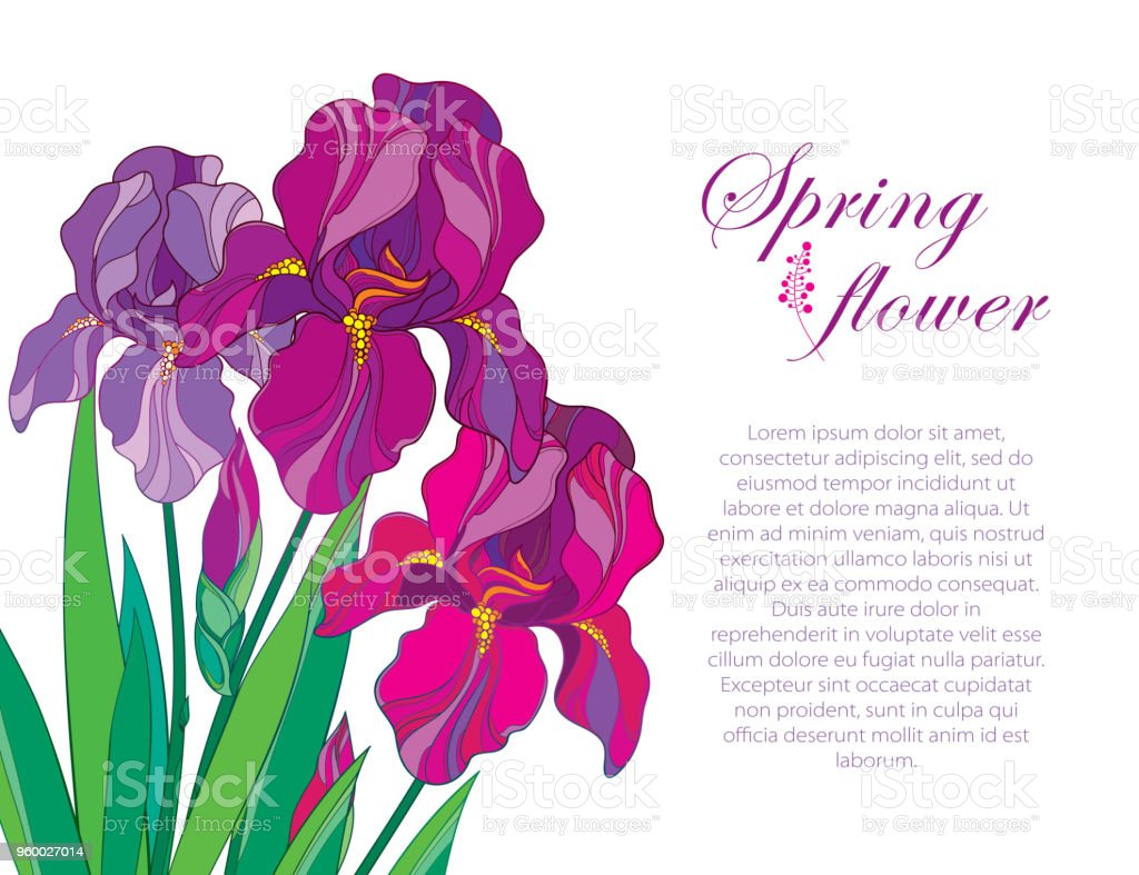 Vector Corner Composition With Outline Bouquet Of Three Purple Iris