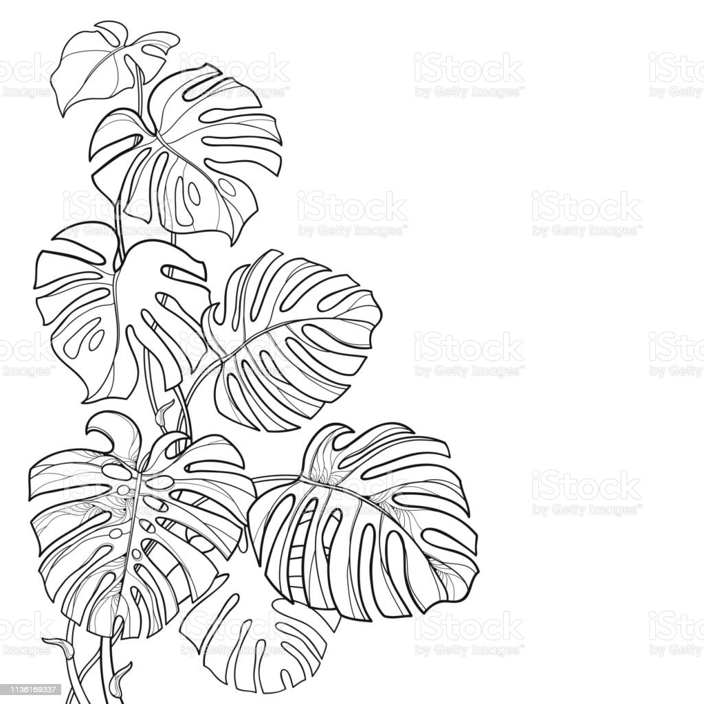 Vector Corner Leaf Bunch With Outline Tropical Monstera Or Swiss Cheese Plant In Black Isolated On White Background Stock Illustration Download Image Now Istock ▪ 30 black outline (see picture 2). vector corner leaf bunch with outline tropical monstera or swiss cheese plant in black isolated on white background stock illustration download image now istock