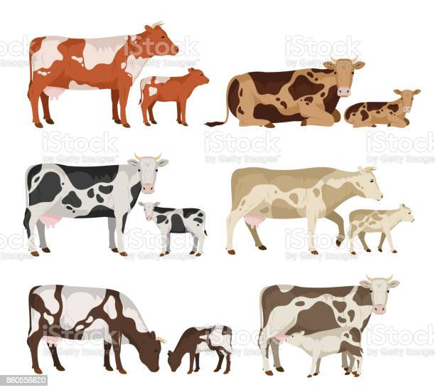 Vector cow and calf collection vector id860556620?b=1&k=6&m=860556620&s=612x612&h=rydmvgjaxzfjdlqe83dly3 qcx z0kyl67uvodqzxxm=