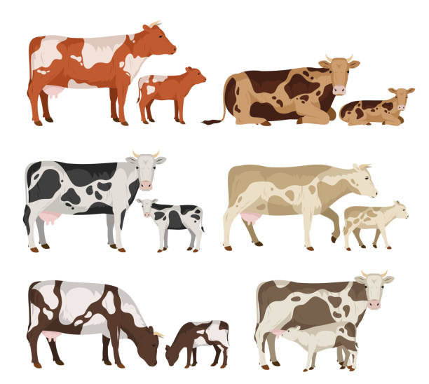 Vector cow and calf collection Vector cow and calf collection isolated on white for farms, groceries, packaging and branding calf stock illustrations