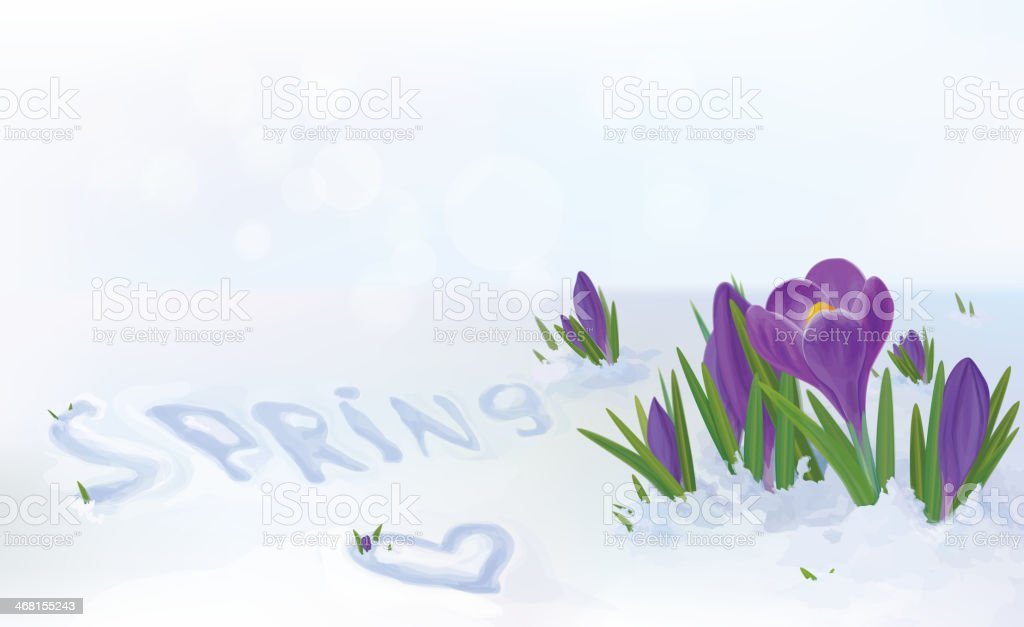 Vector crocuses flowers in snow.